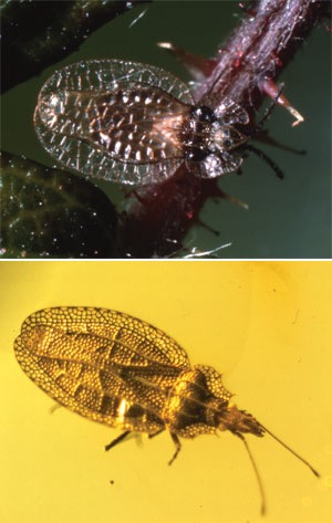 Lace bugs (Tingidae) alive today in Europe (top) are just the same as those found in Caribbean amber (bottom) dated as being millions of years old. These and other ???living fossils??? present a conundrum to evolutionists. Why no evolution in all that (supposed) time?