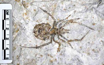 Фейковый окаменелый паук в ЛОГО.jpg