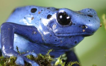 poison-dart-frogs-drop-dead-gorgeous.jpg