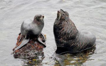 2 Северные морские котики (Callorhinus ursinus).jpg