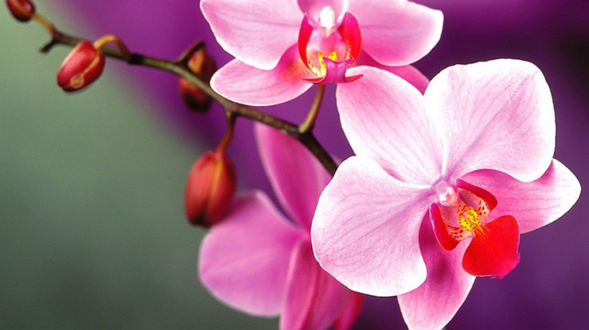 орхидеи фото в высоком разрешении винчи