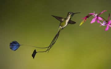 5. Флажки на кончиках удлинённых перьев хвоста ракетохвостого колибри (Loddigesia mirabilis).jpg