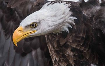 does-eagle-carry-young-on-wings.jpg