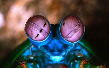 2 Очі рака-богомола.jpg