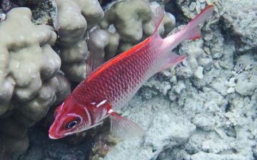 Рыба-белка_(Sargocentron_spiniferum)._Лучепёрые_рыбы_(Actinopterygii)_.DSCF2032ОВ.jpg